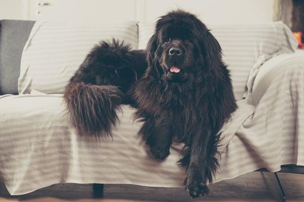 Big dog guarding home
